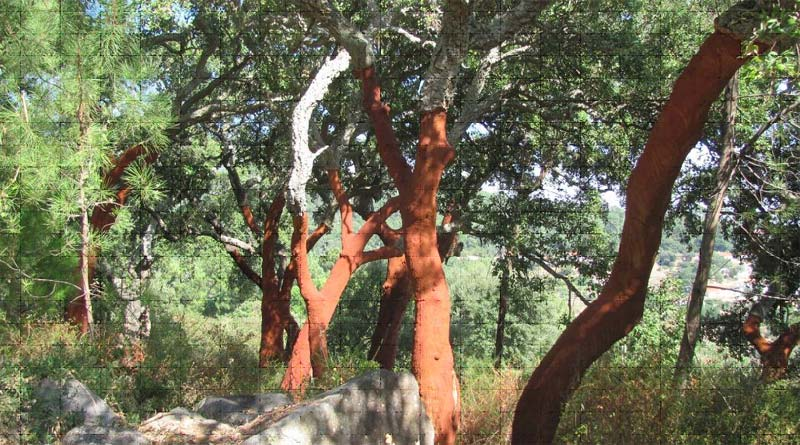 Cork tree in the Algarve