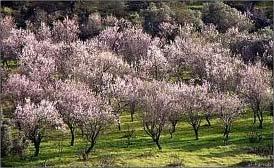 Mandelblüte in der Algarve